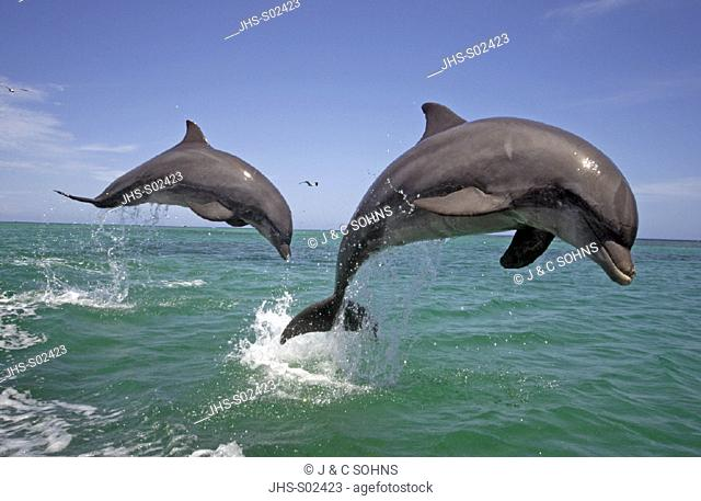 Bottle-nosed Dolphin , Bottle Nosed Dolphin , Bottle Nose Dolphin , Tursiops truncatus , Roatan , Honduras , Caribbean