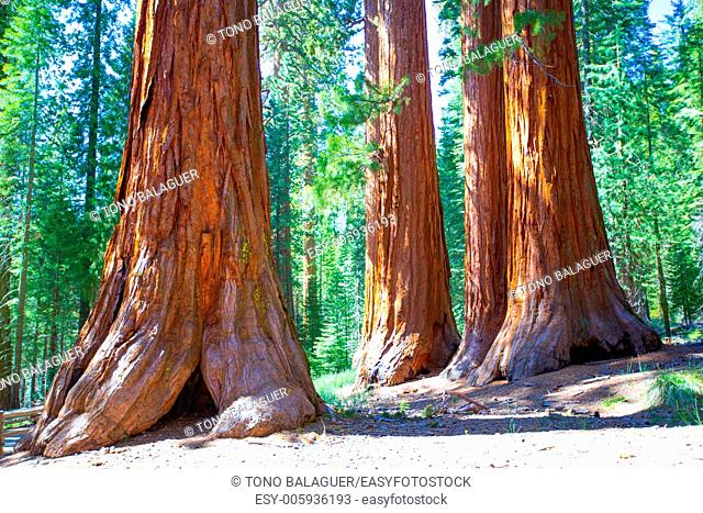 Sequoias Bachelor and three Graces in Mariposa Grove at Yosemite National Park California