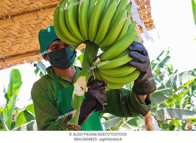 Peru, Sulliana, banana farming