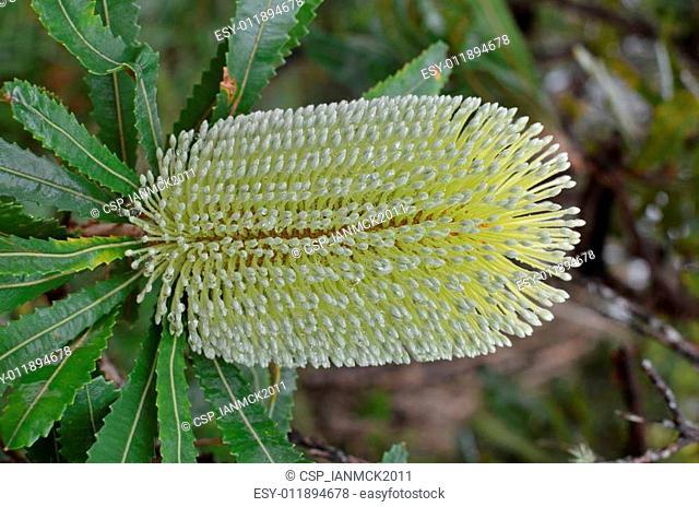 Banksia Integrifolia Blossom