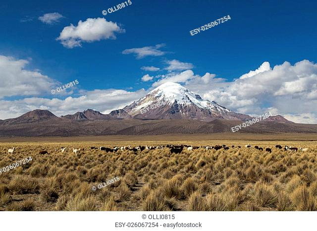 Photograph of the highest mountain in Bolivia Mount Sajama with a group of lamass and alpacas in front