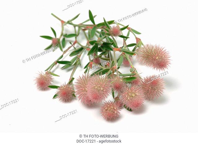 Hare's foot - Hare's foot clover - medicinal plant - Herb - Trifolium arvense - Trifolgia arvense - pianta medizinale -