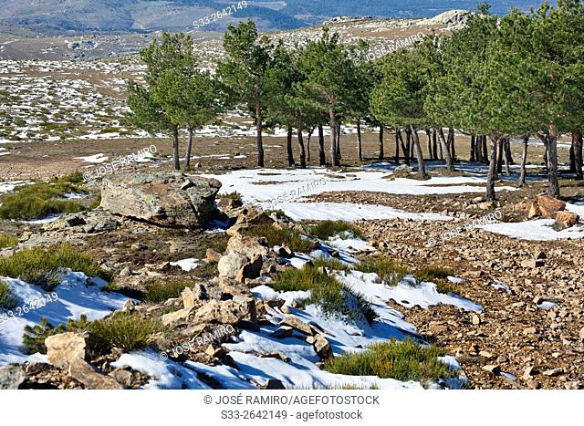 Pines in the Sierra de Malagon. Robledondo. Madrid. Spain. Europe