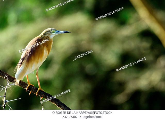 Squacco heron (Ardeola ralloides). Lake Naivasha. Naivasha. Great Rift Valley. Kenya