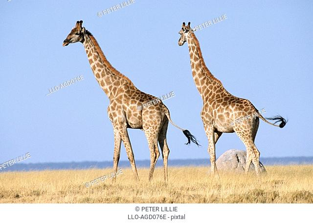 Giraffe Giraffa camelopardalis Pair on the Bushveld Plain  Etosha National Park, Namibia