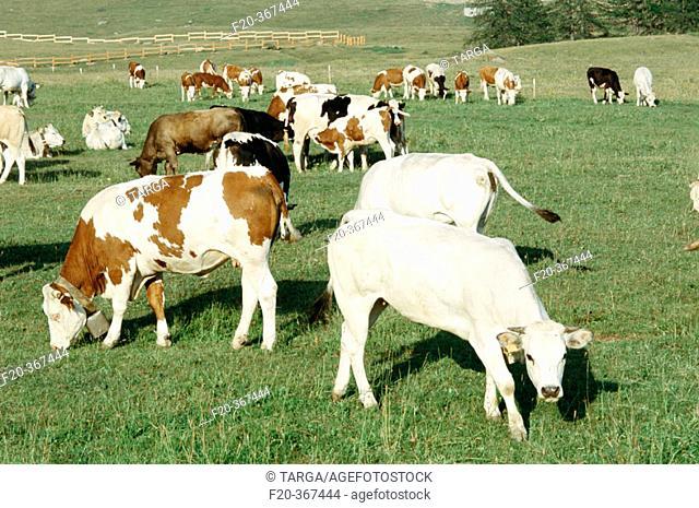Cows in Orsiera Rocciavrè Natural Park area. Piedmont, Italy