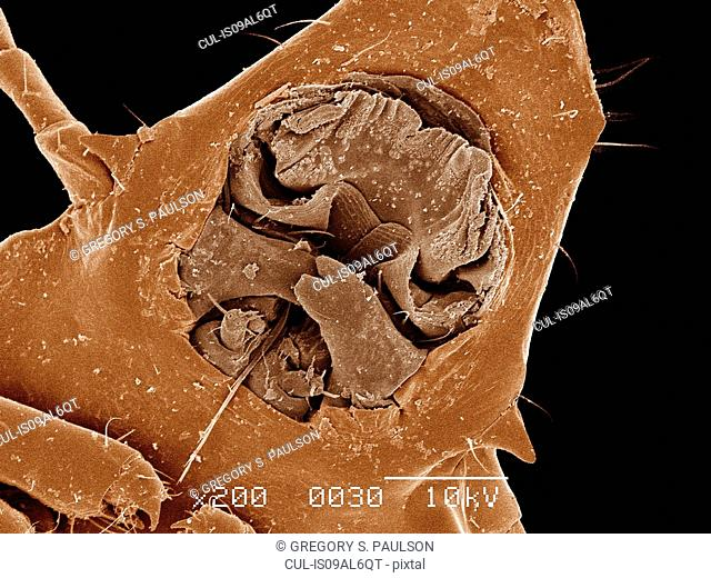 Mouth parts of Duck louse, Phthiraptera, attached to feather SEM