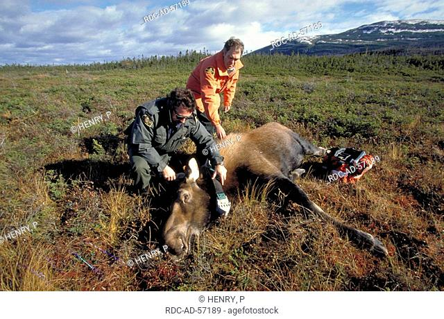 Biologists putting radio collar on sedated Moose cow Gros Morne national park Newfoundland Canada Alces alces