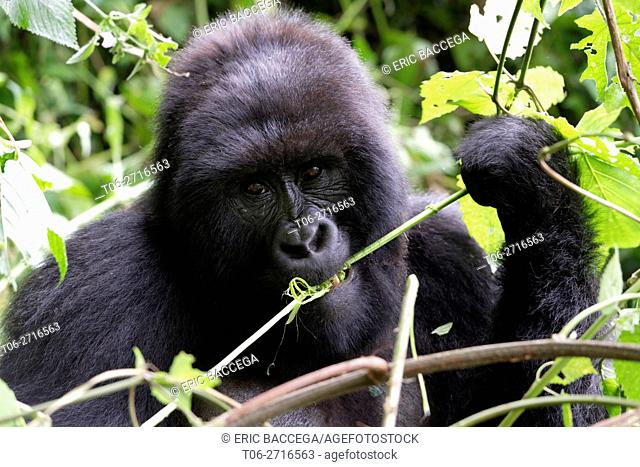 Female Mountain gorilla feeding in forest (Gorilla beringei beringei) Virunga National Park, Democratic Republic of Congo, Africa