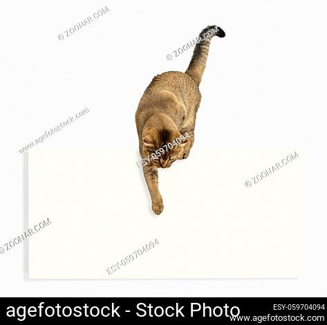 an adult gray cat Scottish straight chinchilla over a blank white ad points with its paw down. Template for writing text at the bottom, sale