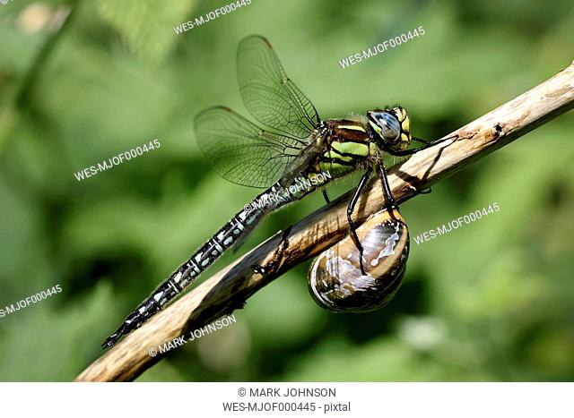 Spring hawker, Brachytron pratense, and snail together on twig