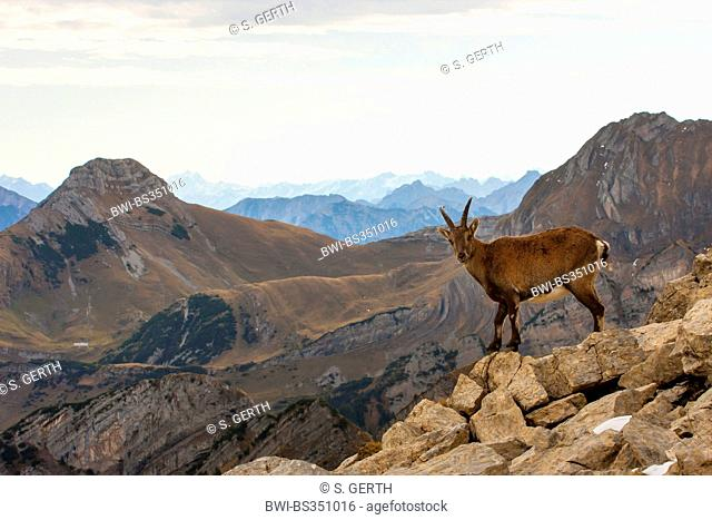 Alpine ibex (Capra ibex, Capra ibex ibex), female standing on a rock and looking down into the valley, Switzerland, Toggenburg, Chaeserrugg