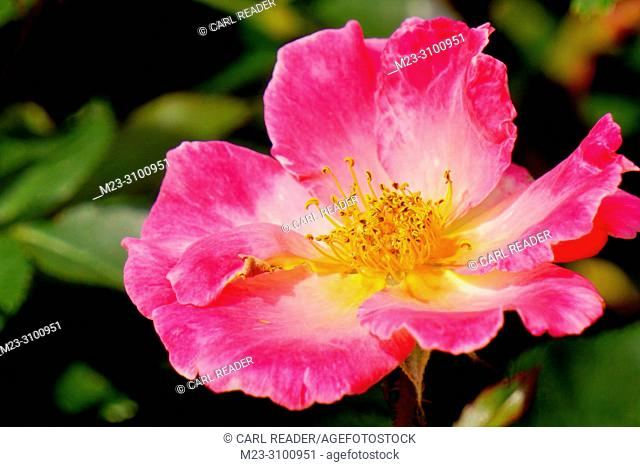 A pink rose in the sun, Pennsylvania, USA
