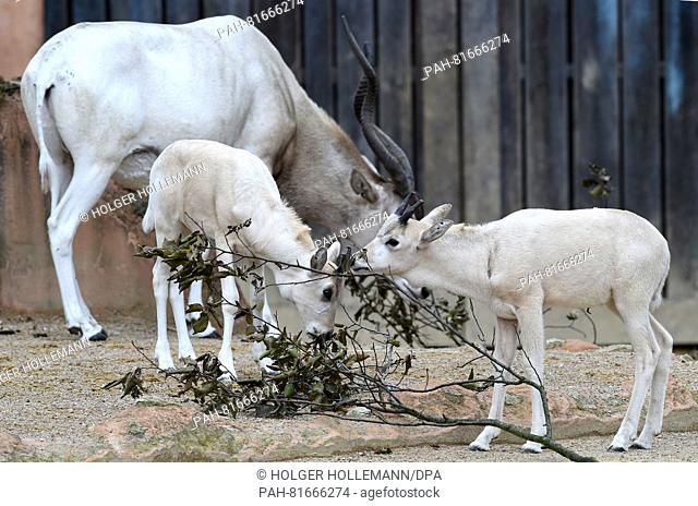 Twoyoung white Addax desert antelopes eat leaves in the outdoor enclosure at the zoo in Hannover, Germany, 30 June 2016