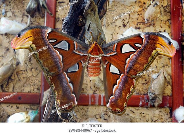 Aatin moth, White Satin Moth (Leucoma salicis, Stilpnotia salicis), top view