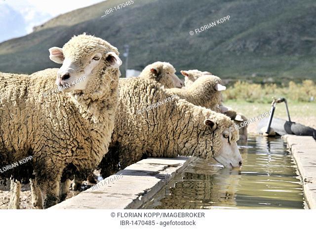 Sheep at a trough, Altiplano Bolivian highland, Oruro Department, Bolivia, South America