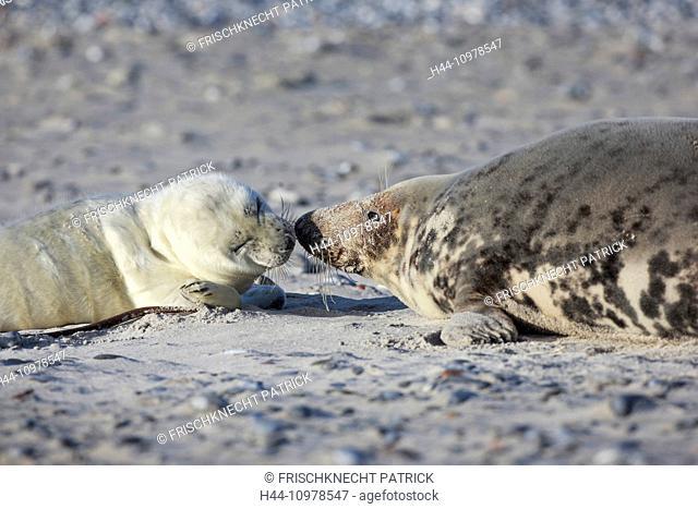 2, Germany, Europe, Halichoerus grypus, Helgoland, dune, island, isle, grey seal, kiss, coast, Lanugo, love, sea, marine mammal, mother, mother animal, nature