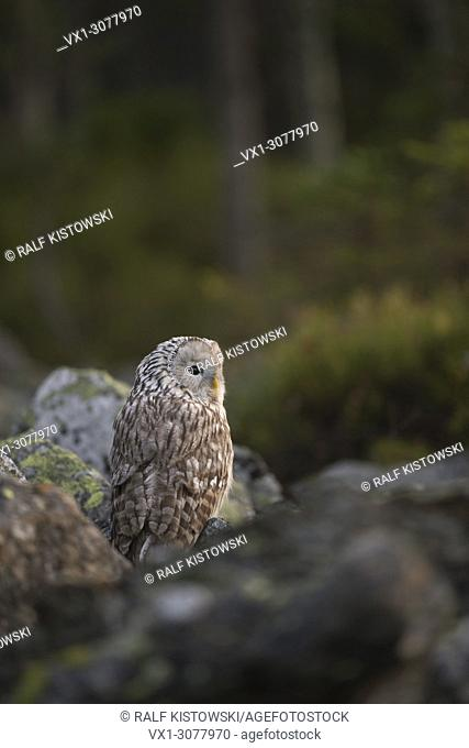 Ural Owl ( Strix uralensis ) sitting between rocks, turn, turning its head, perfect camouflage, at daybreak, backside view, Europe