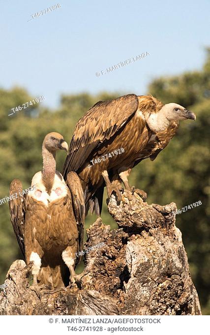 griffon vulture (Gyps fulvus). Photographed in Fresnedilla de la Oliva, Madrid