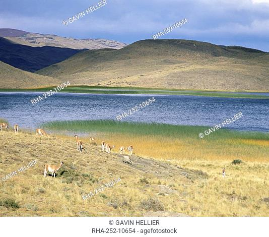 Lake and llamas, Torres del Paine National Park, Patagonia, Chile, South America