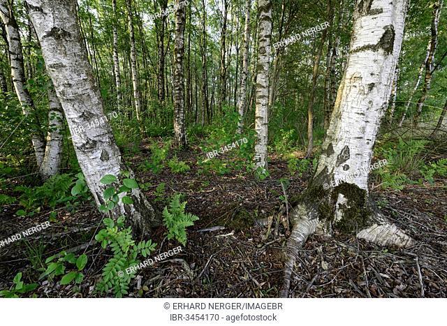 Birch forest with Silver Birch (Betula verrucosa)