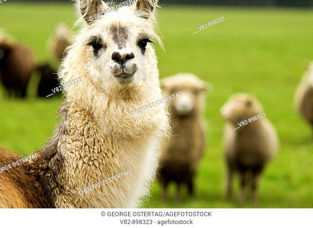 OR37970 Llama guarding sheep, Linn County, OR