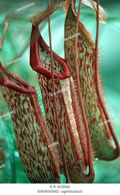 pitcher plant (Nepenthes x intermedia, Nepenthes intermedia), special leaf for catching insects
