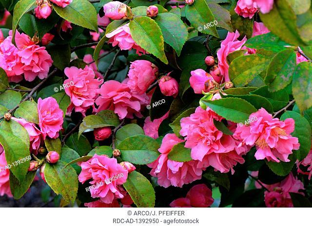 Japanische Kamelie, Sorte 'Fragant Pink', Camellia japonica x Camellia reticulata