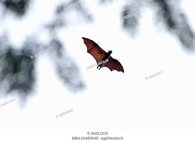 Large flying Fox (Pteropus vampyrus) - Southern Thailand //