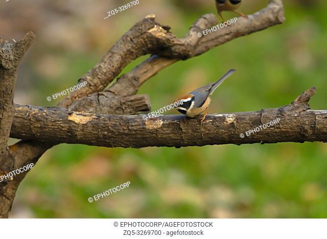 Black throated bushtit, Aegithalos concinnus, Sattal, Nainital, Uttarakhand, India