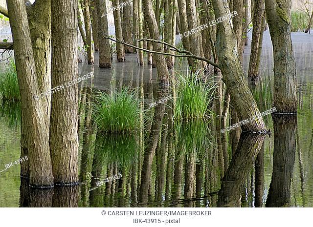 Swamp in the woods of National Park Vorpommersche Boddenlandschaft Germany