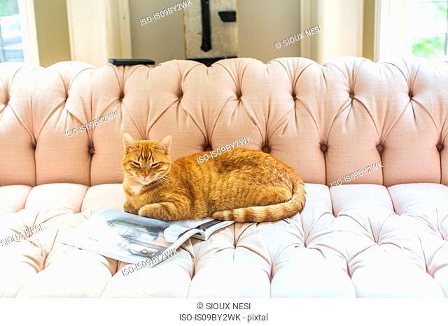 Ginger cat lying on stylish sofa