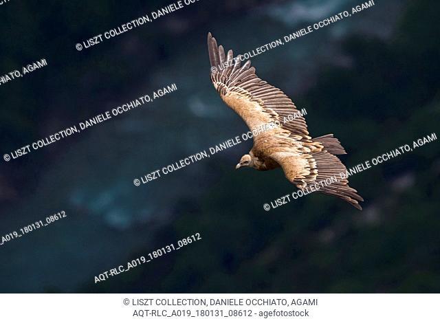 Griffon Vulture in flight, Griffon Vulture, Gyps fulvus