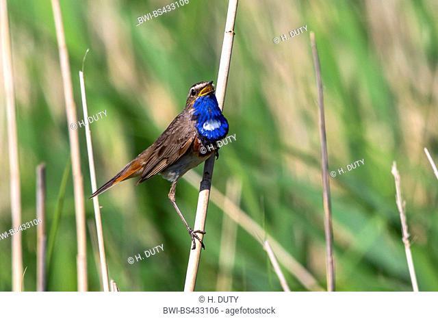 bluethroat (Luscinia svecica cyanecula), male sings, Germany, Mecklenburg-Western Pomerania