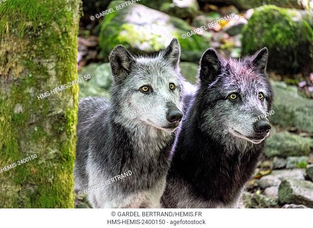 France, Ariege, Orlu, home of wolves, wolf Poland