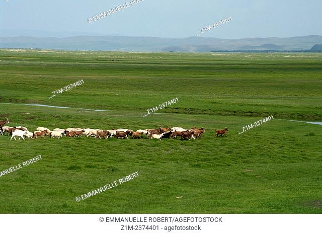 Asia, Mongolia, Goats in Khustain nuruu national park