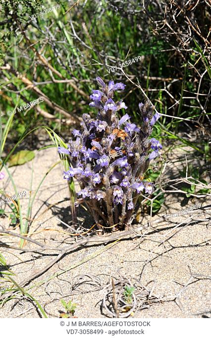 Branched broomrape or hemp broomrape (Orobanche ramosa) is a parasite plant native to Europe, north Africa and Asia. This photo was taken in Cabo de Gata...