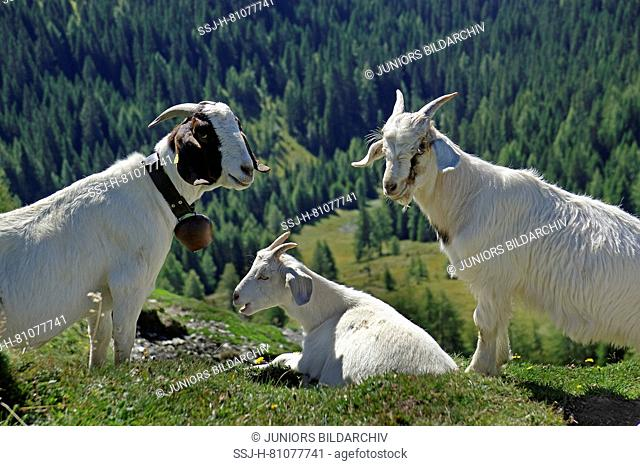 Domestic Goat. Three adults on an alpine meadow, two of them standing to the left and to the right, one lying, symmetry. Dolomites, South Tyrol, Italy