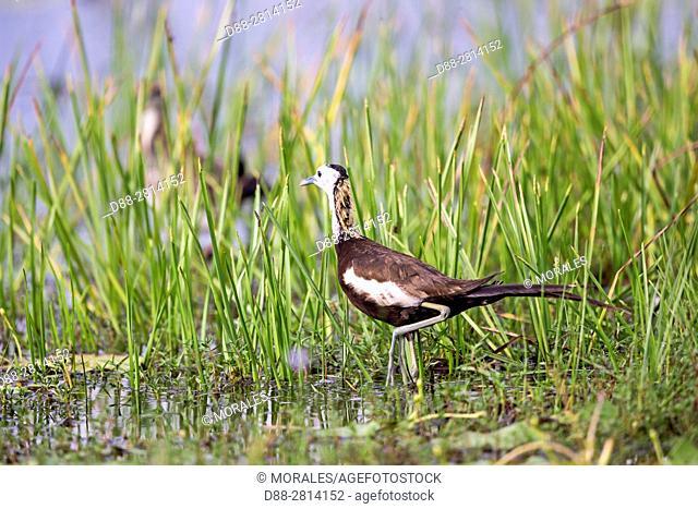 Sri Lanka, Wilpattu national patk, Pheasant-tailed jacana (Hydrophasianus chirurgus)