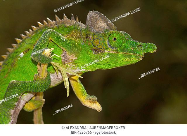 Antimena chameleon (Furcifer antimena), male, southern Madagascar, Madagascar