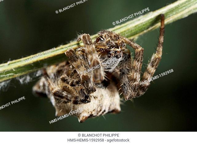 Portugal, Alentejo, Arraiolos, Araneae, Araneidae, Tent-Web Spider (Cyrtophora citricola), portrait