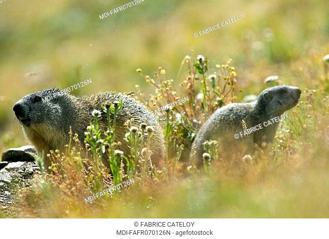 Marmot and its young in the grass in the natural regional park of Queyras