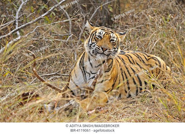 Bengal or Indian tiger (Panthera tigris tigris) with deer kill, Ranthambhore National Park, Rajasthan, India