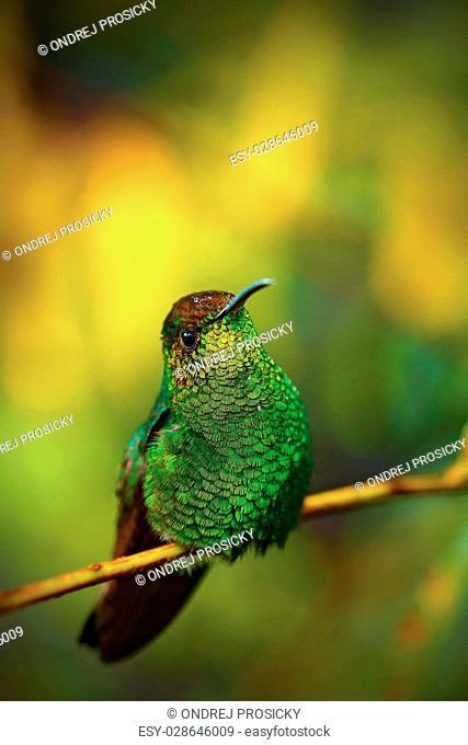 Coppery-headed Emerald, Elvira cupreiceps, beautiful hummingbird