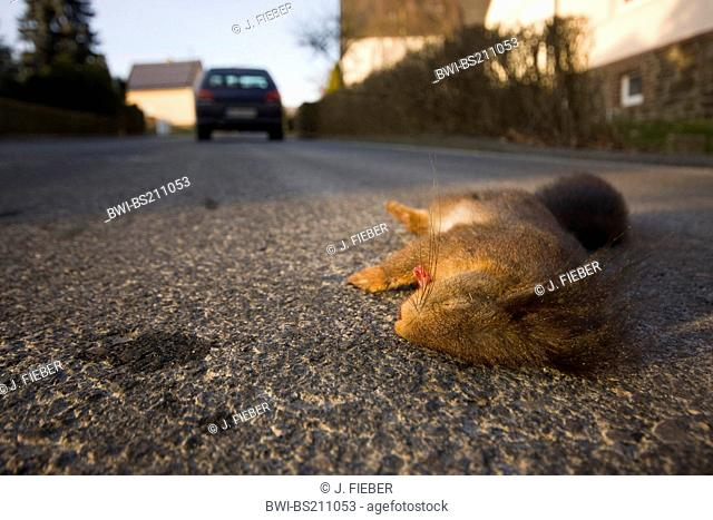 European red squirrel, Eurasian red squirrel (Sciurus vulgaris), dead in a street, Germany, Rhineland-Palatinate