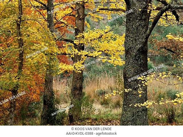 Ginkgo Biloba and Maple trees in autumn, Hogsback, Eastern Cape, South Africa