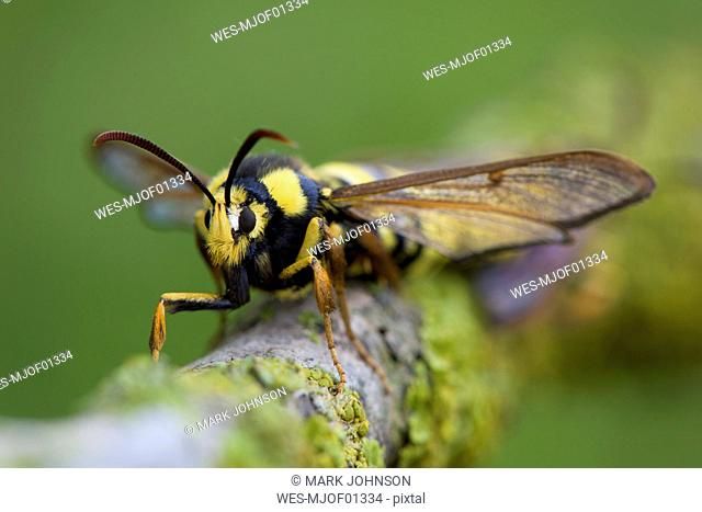 Hornet moth on a branch