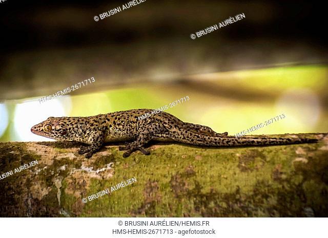 Seychelles, Fregate Island, Seychelles bronze Gecko (Ailuronyx seychellensis) on a Banyan Tree (Ficus benghalensis)