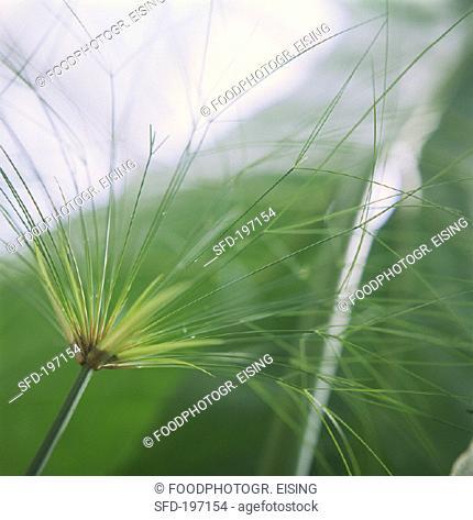 Umbrella plant (Cyperus involucratus)