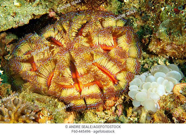 Fire urchin, Asthenosoma varium, and bubble coral, Plerogyra sinuosa, Sinandigan wall, Puerto Galera, Mindoro, Philippines